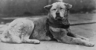 History of the American Akita